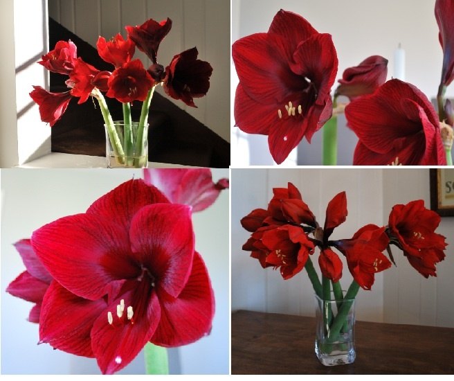 12 best my creations images on pinterest delaware for Amaryllis royal red entretien