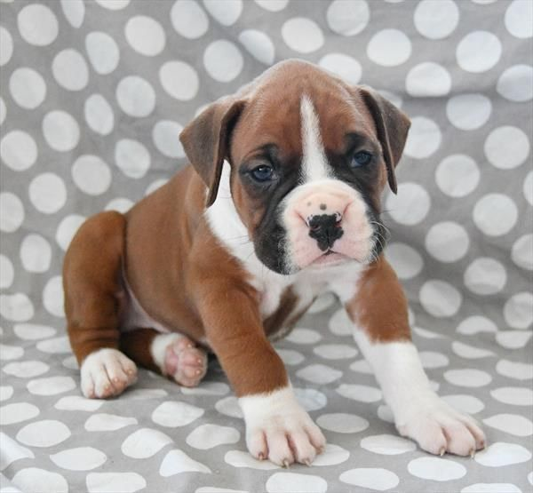 Puppies For Sale Petland In Overland Park Kansas City Boxer