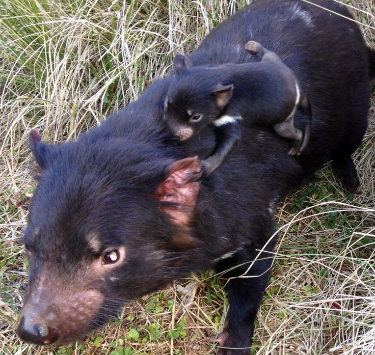 baby tasmanian devil   google search mother and baby animals
