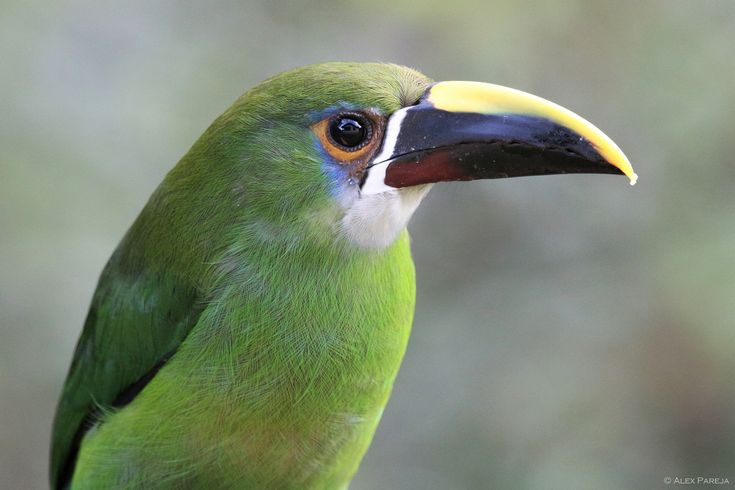 https://flic.kr/p/FvhCC9   Aulacorhynchus prasinus   Close-up shot of an Emerald Toucanet, a fairly common bird in Medellin's countryside. Photographed in La Ceja, Colombia.  © Alex Pareja