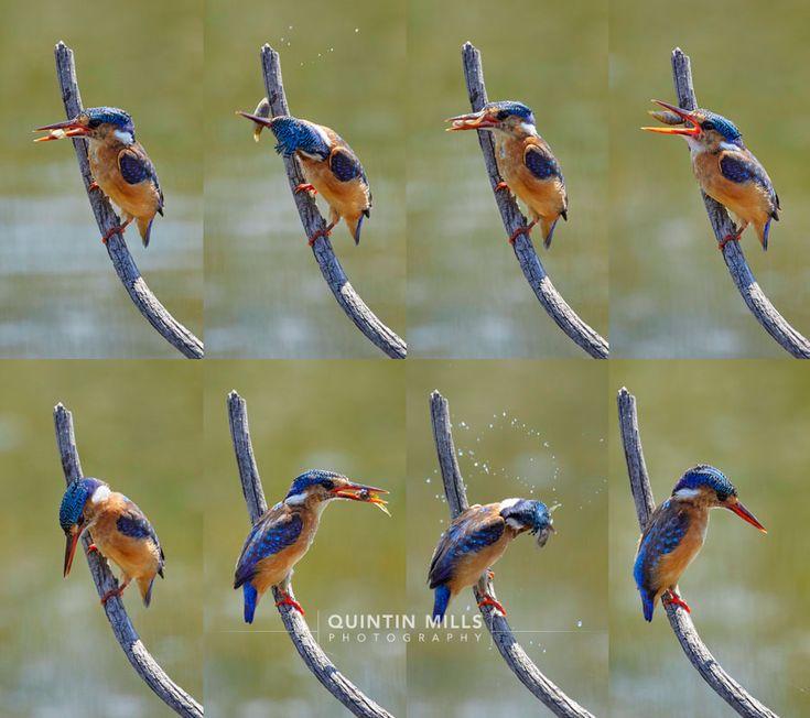 Malachite Kingfisher - Caught it, dropped it, caught it again. - http://www.quintinmills.co.za/wildlife/malachite-kingfisher-caught-it-dropped-it-caught-it-again/