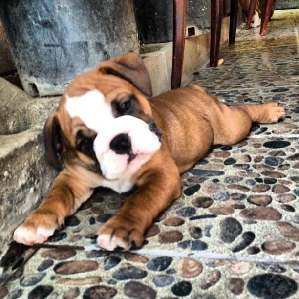 bulldogggAnimal Pics, Bulldogs Puppies, Aww, Precious Bulldogs, Bulldog Puppies, Baby Boxers, Da Babyyyyyy, Box, Adorable Things