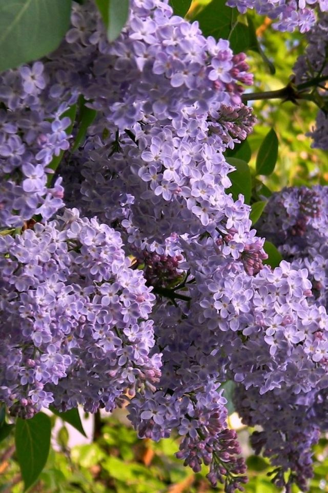 17 Best Images About Lilacs On Pinterest Purple Lilac