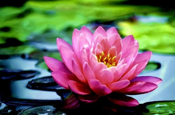 Lotus flowers can be drawn starting in the center and working outward, and the bloom can be rendered on top of a lily pad to add an environment.