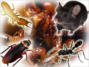 The five pest species have become scavenging experts and have a long association with humans. In fact, some scientists believe that as early humans left Africa to colonise the world, cockroaches were probably not far behind.  thirstypestcontrol.com.au
