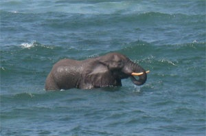 "An elephant was recently spotted off the coast in the bay of Nuarro.     Photos are showing the animal enjoying himself in the sea water where he was swimming, showering, drinking and playing, as Trienke Lodewijk from Nuarro Mozambique Eco Lodge experienced.    ""At first we thought it was a whale because we get a lot of whales very close in our bay. Anyway it would be strange to see a whale at this time of the year because the whale season is only between June and December. When we realized…"