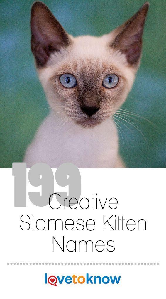 199 Creative Siamese Kitten Names Kitten Names Siamese Kittens Kittens