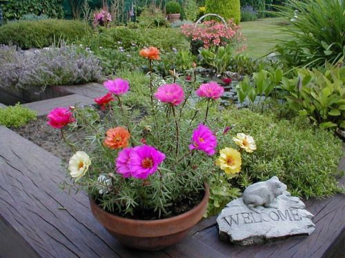 portulaca, love these little plants!