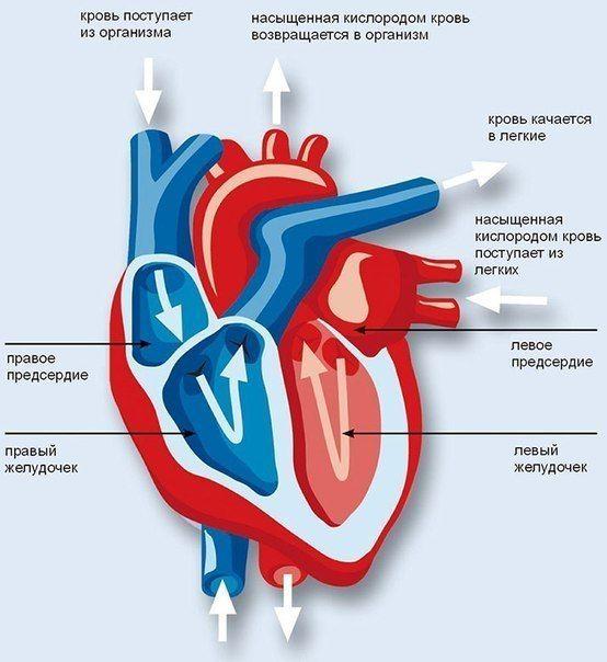 Бодибилдинг и сердечно-сосудистая система    Сердечно-сосудистая система человека создана для того, чтобы поставлять всем органам человека питательные вещества, необходимые для полноценной жизнедеятельности.  Это — система органов, которая обеспечивает циркуляцию крови в организме.За счет циркуляции крови органы и ткани организма получают питательные вещества и кислород, а углекислый газ и продукты метаболизма (распада) и отходы выводятся.  Центральный элемент системы кровообращения – это…