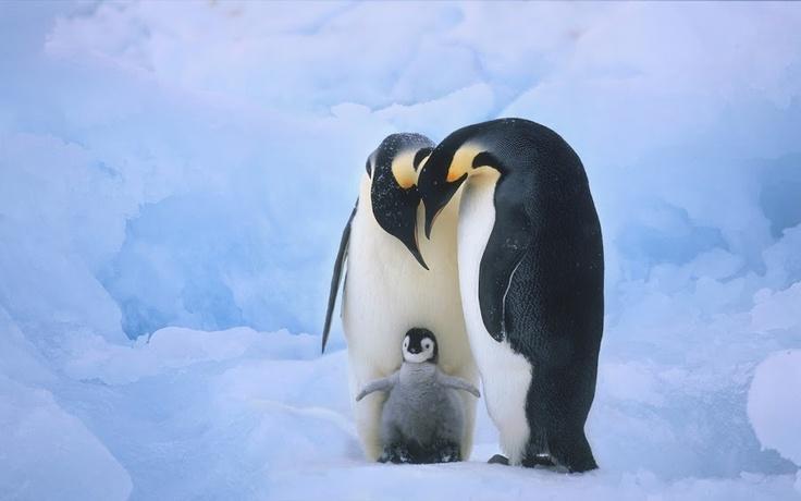 : King Penguins, Beautiful Photo, Animal Photo, Happy Feet, Animal Boards, Happy Families, Emperor Penguins, Penguins Families, Adorable Animal