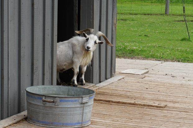 Cedar Row goat   Batty's Bath volunteers at Cedar Row Farm Sanctuary - A charity we've supported for years by sponsoring a goat. We suited up and attended a Work Visit day to help out around the farm (and of course hangout with all the cool animals!)