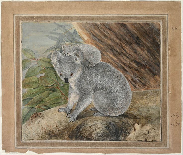 J. W. Lewin's depiction of a koala and its baby, 1803. The Mitchell Library purchased this framed watercolour from a descendant of Philip Gidley King in July 1983. Mitchell Library, State Library of New South Wales: http://www.acmssearch.sl.nsw.gov.au/search/itemDetailPaged.cgi?itemID=421756