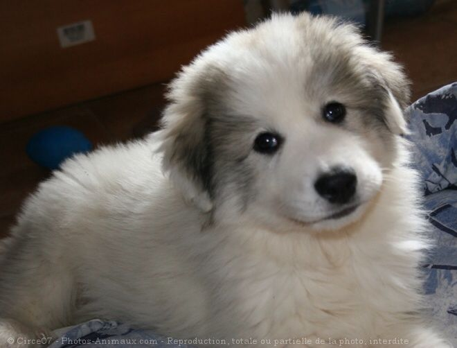 17 Best Images About Great Pyrenees On Pinterest Best Dogs Therapy Dogs And Pyrenees