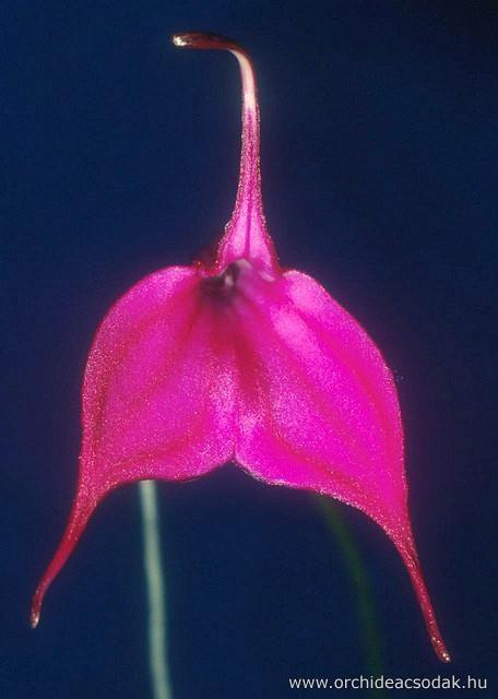 Orchideacsodák - Virágbolt - Orchideák - Masdevallia purpurina