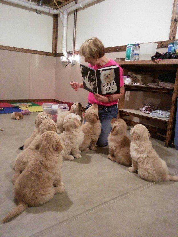 These therapy puppies during their daily afternoon story time. [I'd take this job any time!!!]
