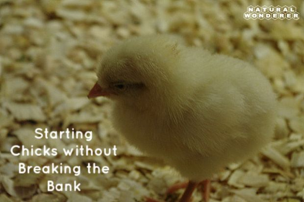 17 Best Images About Raising Chickens On Pinterest