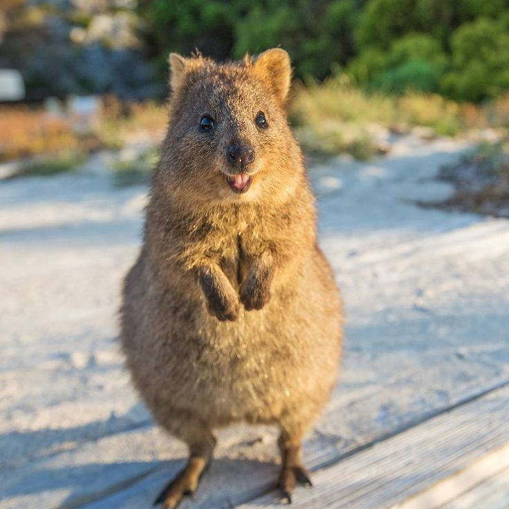 971 best wombats & quokkas images on Pinterest | Quokka ...  971 best wombat...