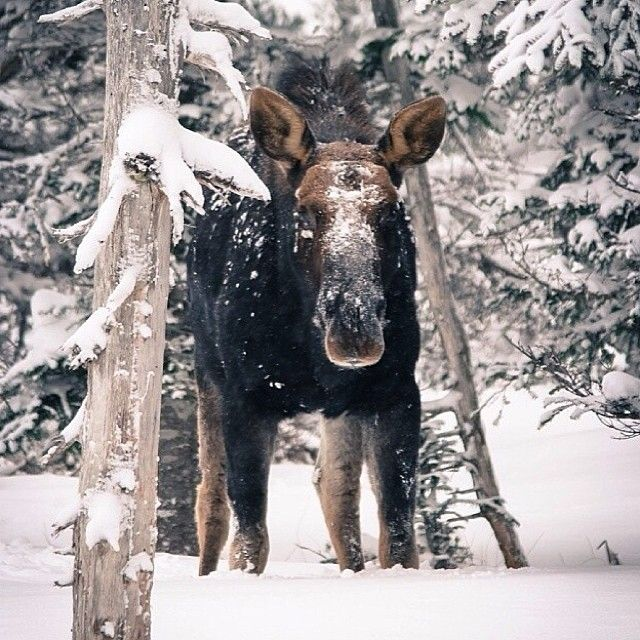 Say hello to a snowy moose spotted on the Skyline Trail in Cape Breton, Nova Scotia.