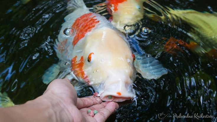 karp koi - ryba wywodząca się z Azji, kultowa wręcz w Japoni. http://podwodnekrolestwo.pl/karp-koi/