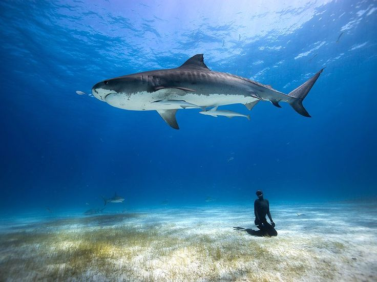 best shark week images shark week animals and a diver calmly kneels in the shadow of a tiger shark in the