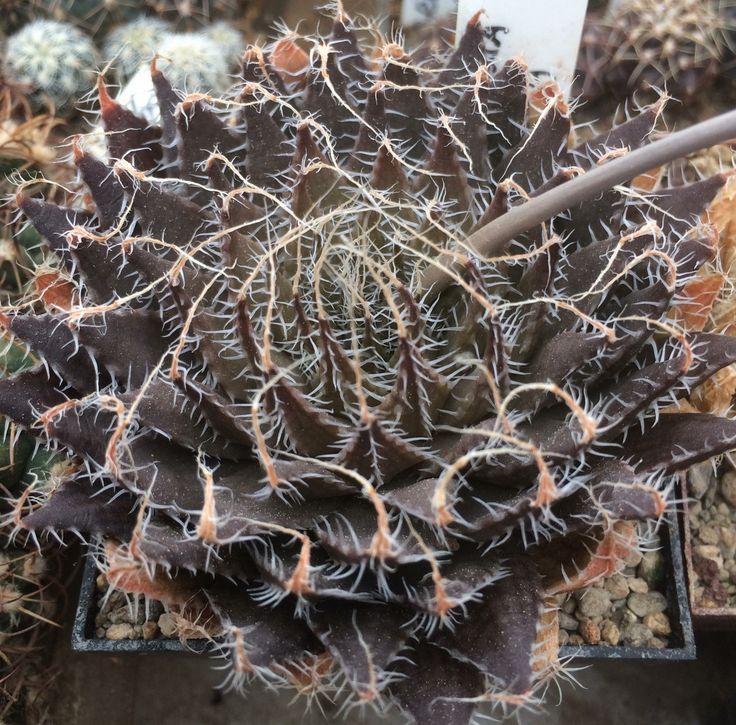 Haworthia arachnoidea v. setata 8SWA, 608/02