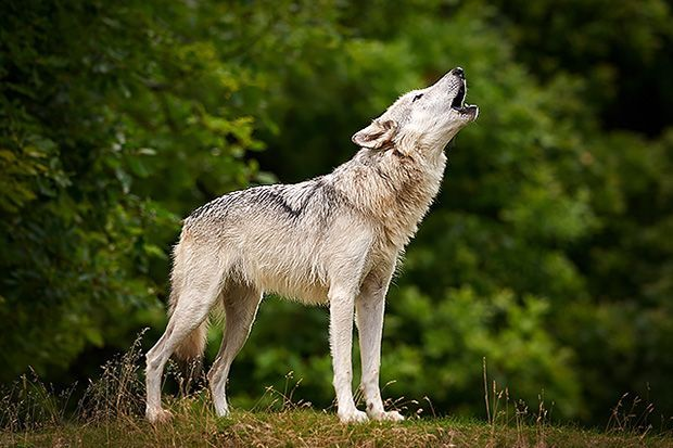 The Company of Wolves: One of 13 states allow residents to keep wolves as pets, no permits required. Want a tiger? You can have one in nine states, with no legal restrictions. According to Born Free USA, six states have no license or permit requirements for the private possession of exotic animals.