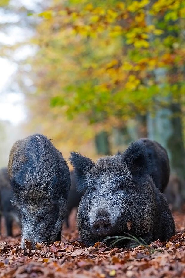 Wildschweinbache ruht im Herbstlaub zwischen Frischlingen - (Wildsauen), Sus scrofa, Wild Boar sow rests in autumn foliage between piglets - (European Boar - Feral Pig)