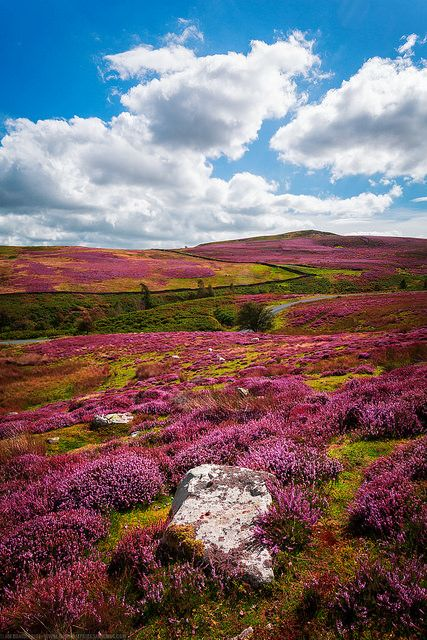 tulipnight: Fields of Heather, Yorkshire Dales, Yorkshire, England by Fragga on Flickr.