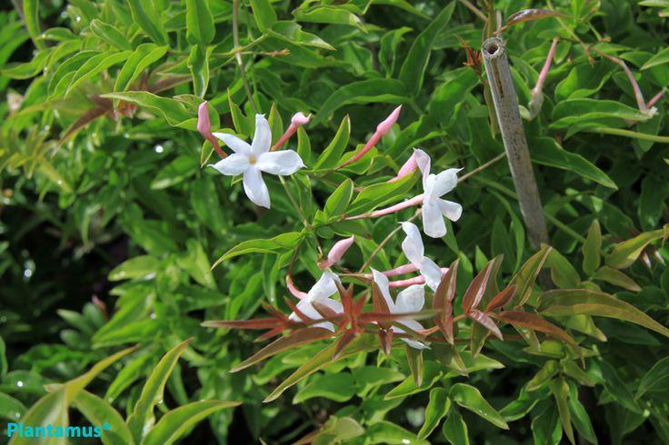 Flor del jazmin. http://www.plantamus.es/comprar-plantas-cubresuelos-enredaderas