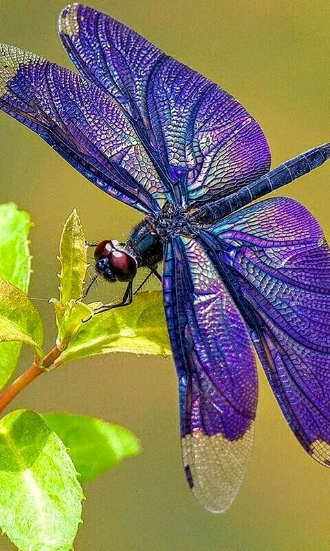 Gorgeous Dragonfly. Hope it hasn't been photo shopped...