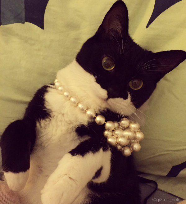 ギズモさん@写真集発売中 @gizmo_neko  1月5日 貴婦人ごっこ  #本当は飼い主のネックレスで遊んでて勝手に絡まっただけ