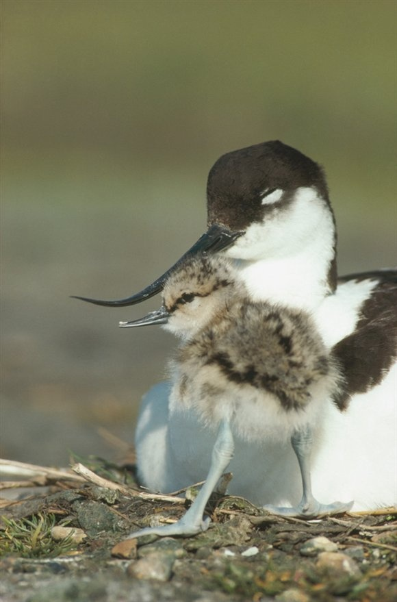 The avocet (seen here) and lapwing chicks have started to hatch at #RSPB Frampton Marsh - quite possibly the cutest things ever! #birds #nature #wildlife #spring