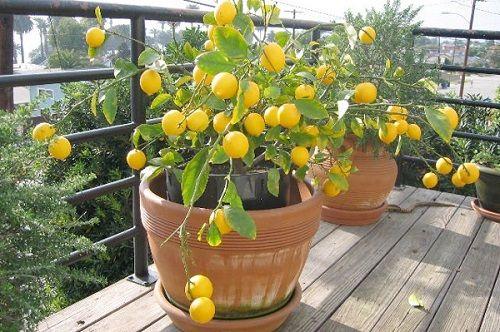 Cómo lograr una planta de Limón en una maceta
