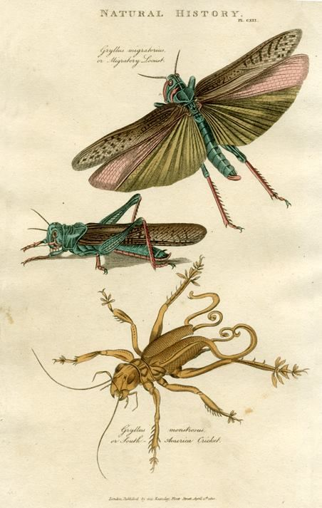 """Insects - """"Migratory Locust, South American Cricket"""",1819"""