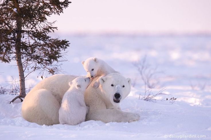 Polar Bear mother with cubs. Wapusk National Park - Manitoba - Canada  Daisy Gilardini