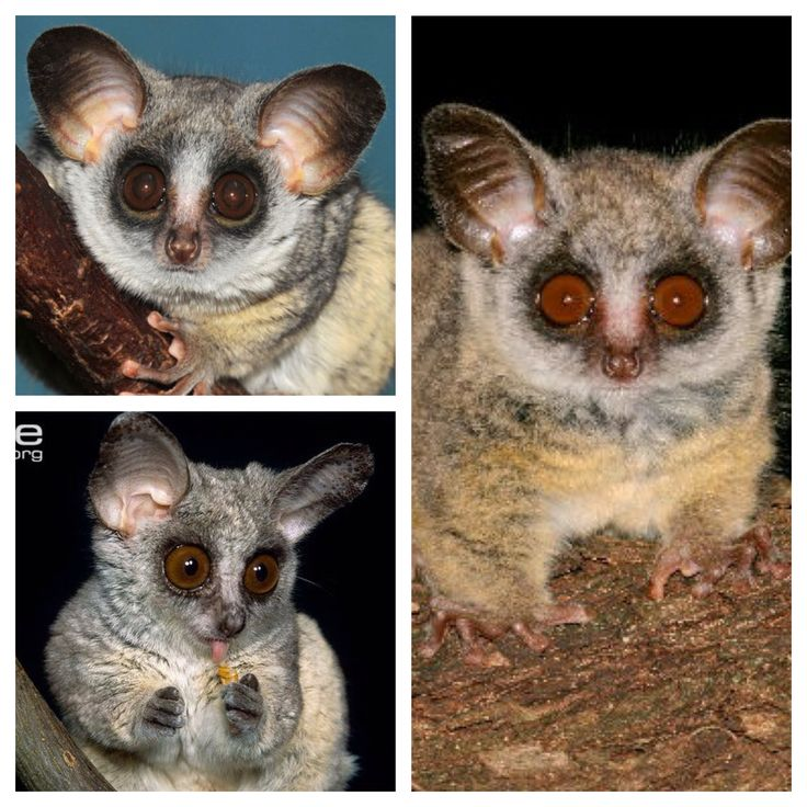 The mohol bushbaby is a species of primate in the