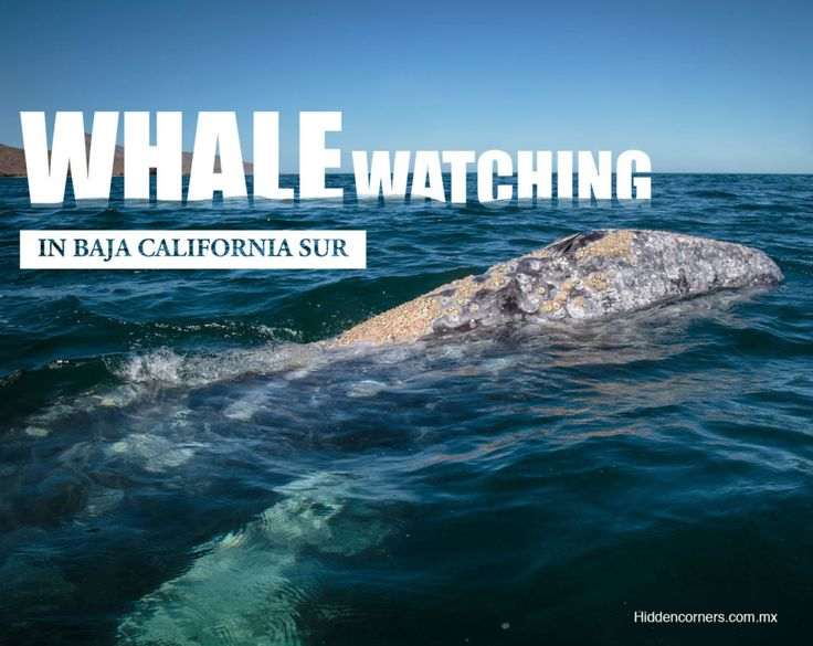 An experience you'll never forget... Whale watching and touching in Baja California Sur, Mexico