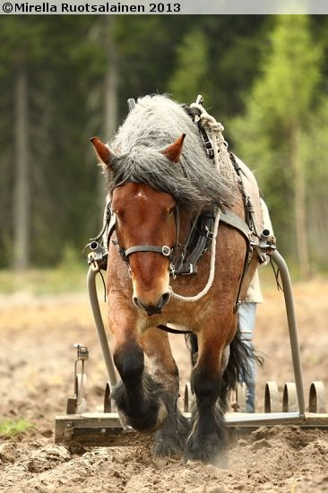 Swedish Ardennes Limppu (Lincon) came to us 2013. He is 171cm tall and weight 980kg. Now he lives at Åfeltin Työhevoset Oy (www.tyohevoset.fi) and works as fulltime logging horse.