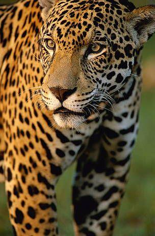 / ©: Yaguareté,  es el felino más grande del continente americano y tercero en corpulencia a escala mundial.