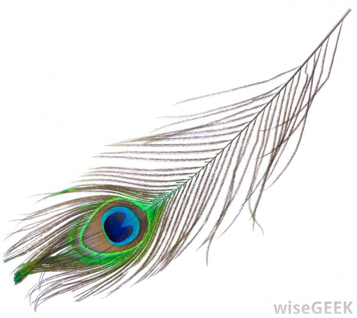 Single Peacock Feather Design Images & Pictures - Becuo