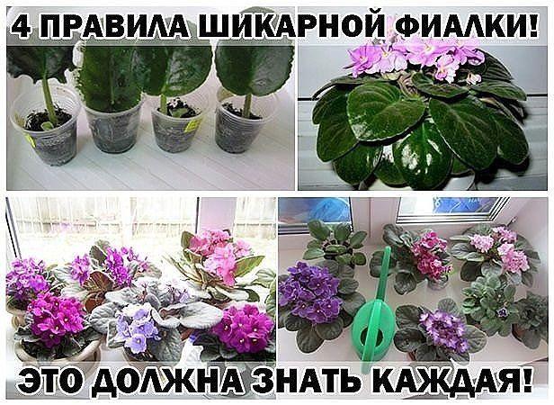 С помощью этих основных правил, я выращиваю целый цветник фиалок у себя на подоконнике | Лайфхак - Полезные советы | Яндекс Дзен