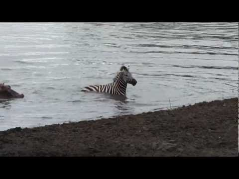 Crocodile vs zebra, amazing encounter
