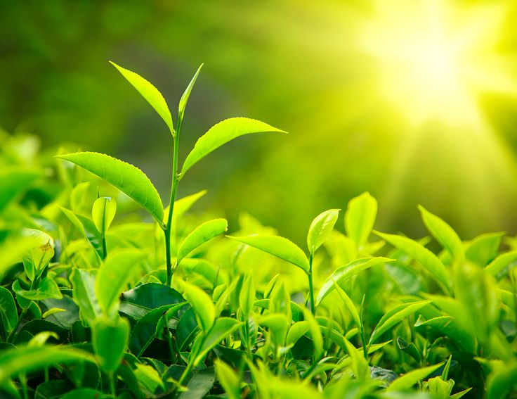 Antioxidantien aus Grünem Tee