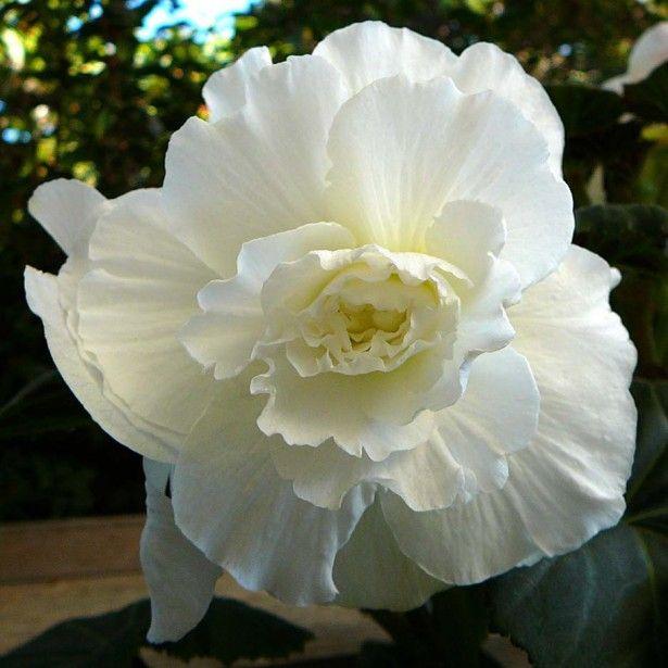 Begonia Grandiflora Blanc