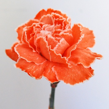 Carnations are my favorite flowers!