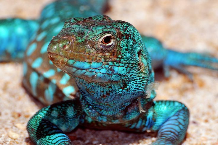 Blue gecko. How does nature come up with such vibrant