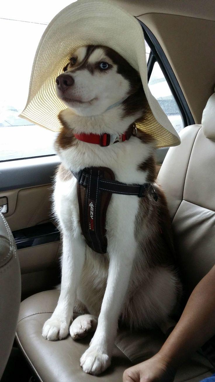 """I am a pretty lady"" | A community of Husky lovers!"