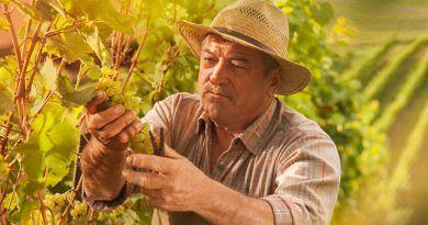 Aprenda a cultivar uvas para a produção de vinhos