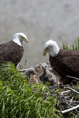 American Bald eagles in nest with young