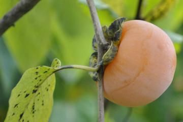 Persimmon Trees // planting and care